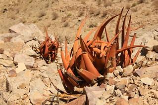 Aloe. Fish Canyon