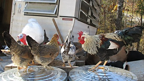 Icelandic chickens. And a Midget White Turkey.