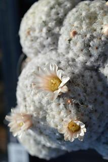DSC_2243 Mammillaria plumosa  マミラリア 白星
