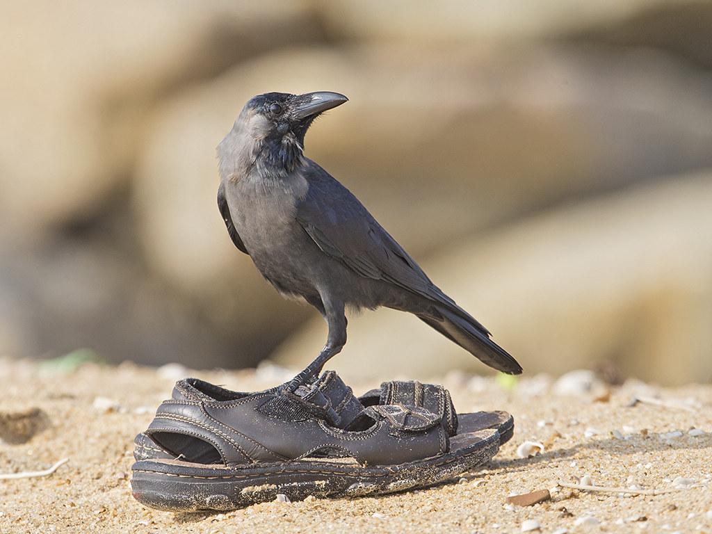 House Crow   Sri Lanka