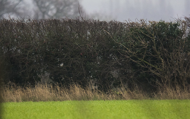Great Grey Shrike, Poppy Hill, 3rd January 2016