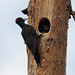 Black Woodpeckers (Mati Kose)