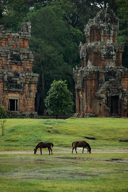 Horses grazing at Angkor Wat in Cambodia