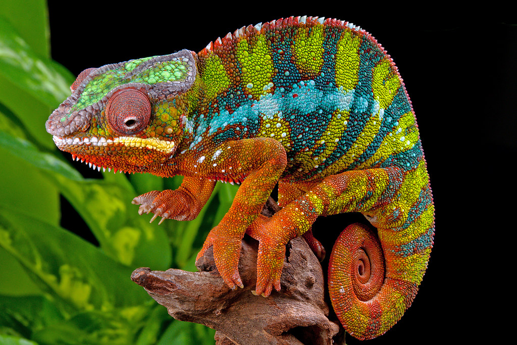 Panther Chameleon, CaptiveLight, Bournemouth, UK