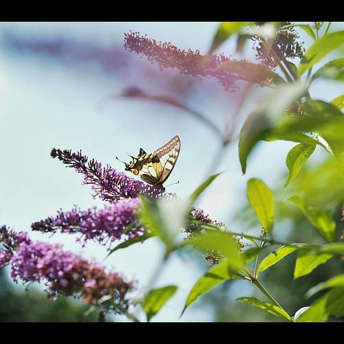 #butterfly #bluesky #macro #naturalworld #butterflyplant #ardeche