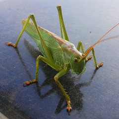 arthropod, locust, animal, cricket, invertebrate, macro photography, mantis, grasshopper, fauna,