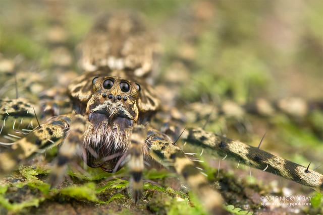 Long-legged water spider (Syntrechalea sp.) - DSC_1350