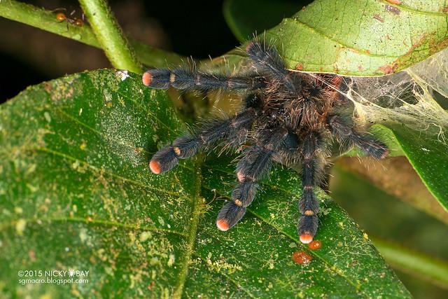 Pinktoe tarantula (Avicularia sp.) - DSC_3437