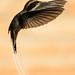 Rabo-branco-de-garganta-rajada (Phaethornis eurynome) by Thelma Gatuzzo