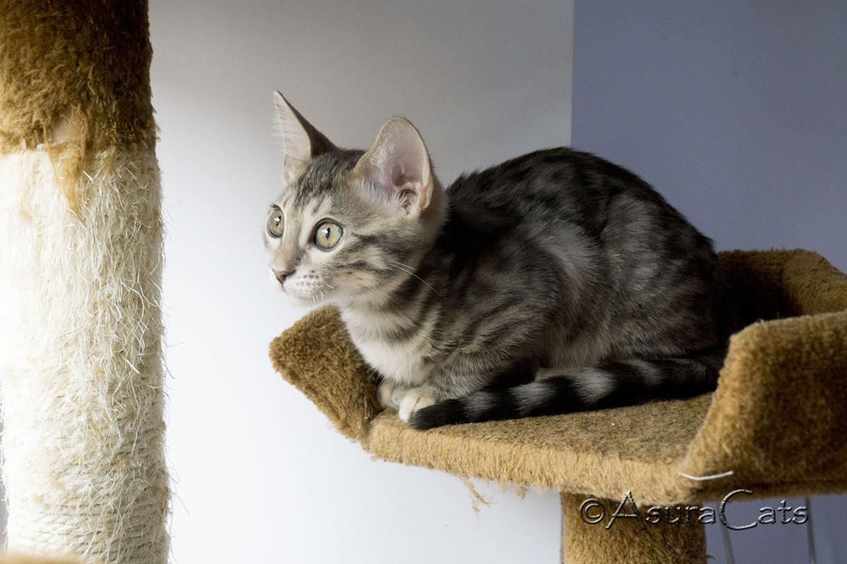 Blue rosetted Bengal kitten