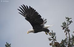 Eagle Flight Flkr1830