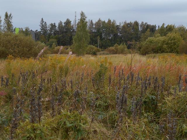 Niittynäkymiä syksyllä; lupiinihedelmystöjä ja tarhapiiskuja 15.9.2015 Espoo Leppäsilta