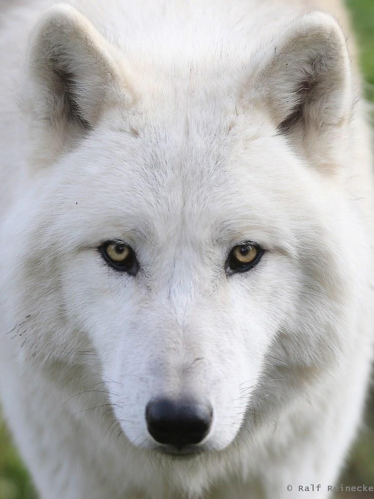 Arctic Wolf -  Parc Animalier de Sainte-Croix October 2015 26