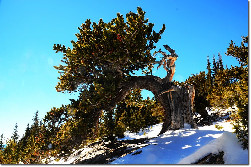 Bristlecone pine on the Chief Mountain 2