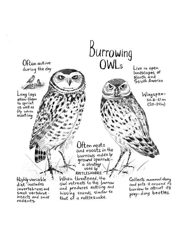 Owls_26_Burrowing_Owl