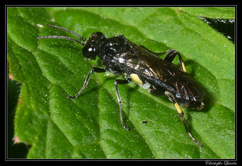 Macrophya ribis