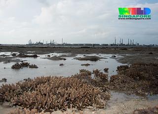 Stumpy acropora coral (Acropora sp.)