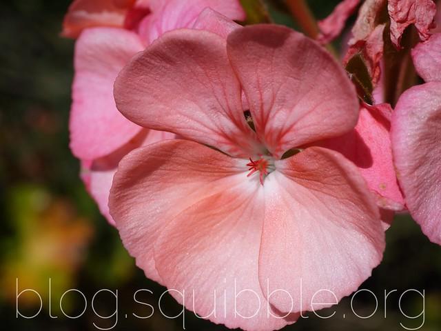Project 365 26/12/2015 - Pink Geraniums