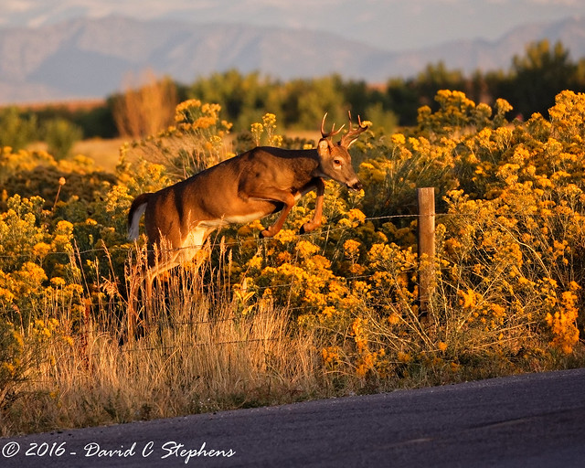 Young Buck Jumps Fence at Sunrise (Explored)