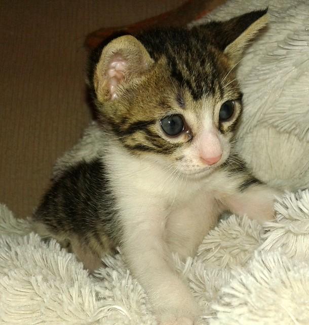 FALLECIDO- Marvel, gatito blanquipardo bebé en Adopción Especial, nacido en Junio´15, en adopción. Valencia. 20522064525_3f2881c42e_z