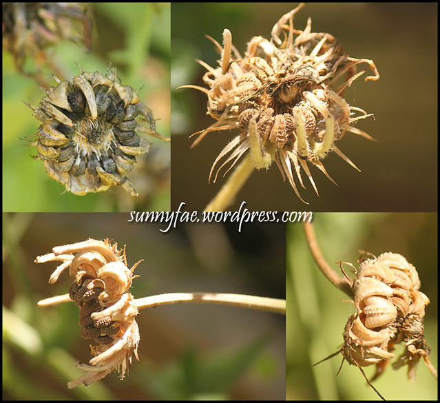 Marrigold Seed Heads