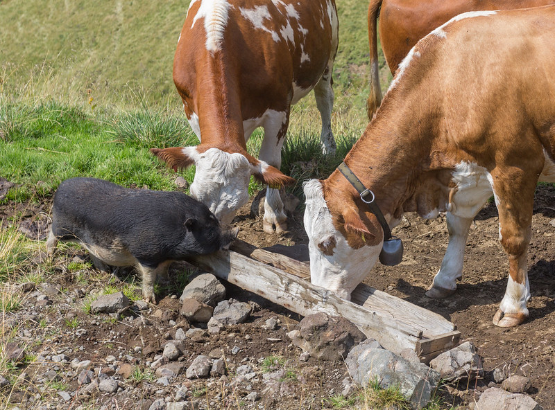Pigbro hanging out with the cows