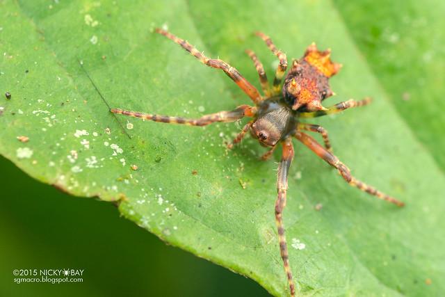 Orb weaver spider (Wagneriana sp.) - DSC_2415