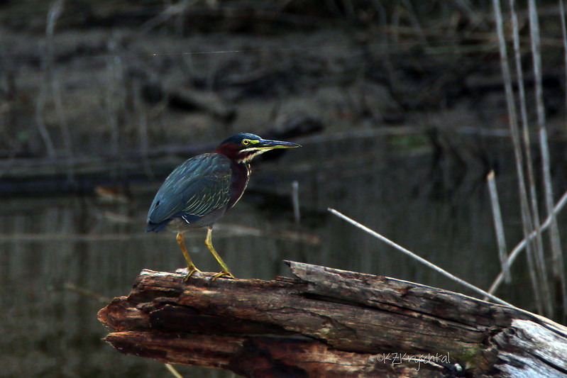 IMG_0776GreenHeron