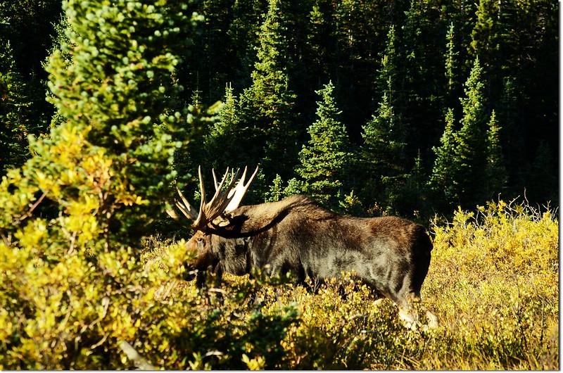 Moose at Brainard Lake (7)