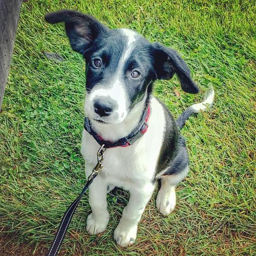 puppy jack bordercollie dumboears