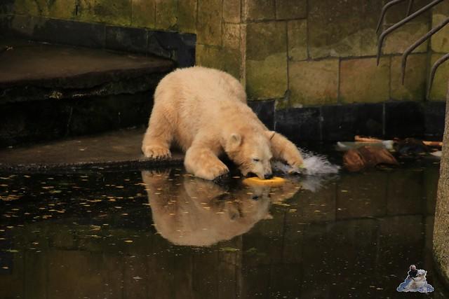 Eisbär Fiete im Zoo Rostock 19.09.2015 Teil 2  0190