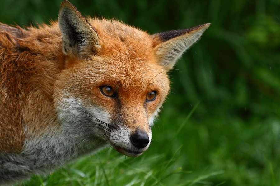 Red fox 'Frodo' close-up