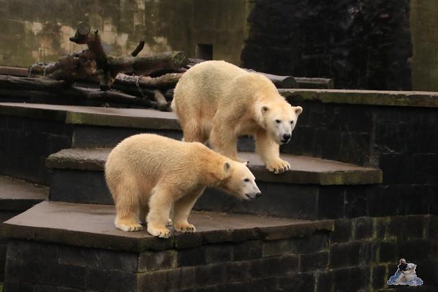 Eisbär Fiete im Zoo Rostock 17.10.2015  083