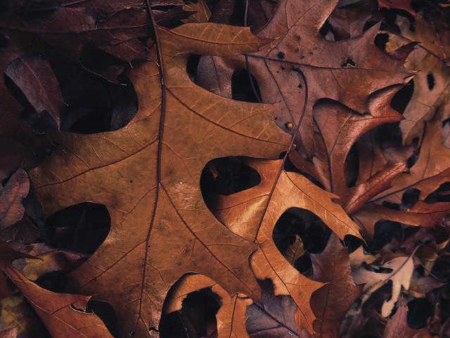 fallen oak leaves (2015)