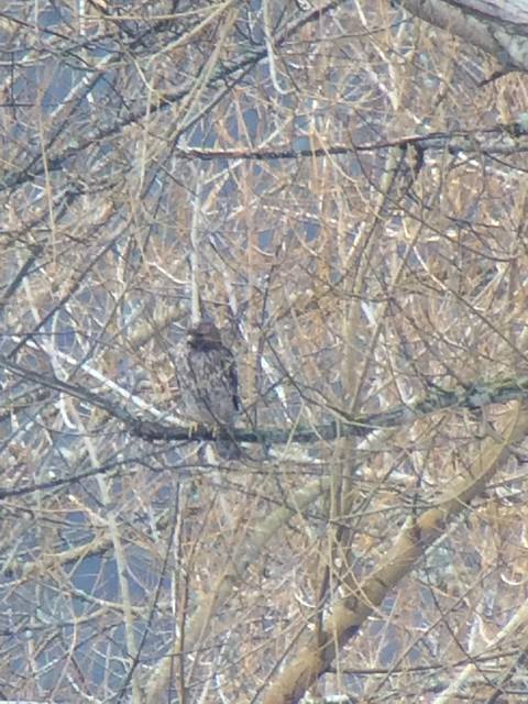 Red-shouldered Hawk. Nisqually NWR.