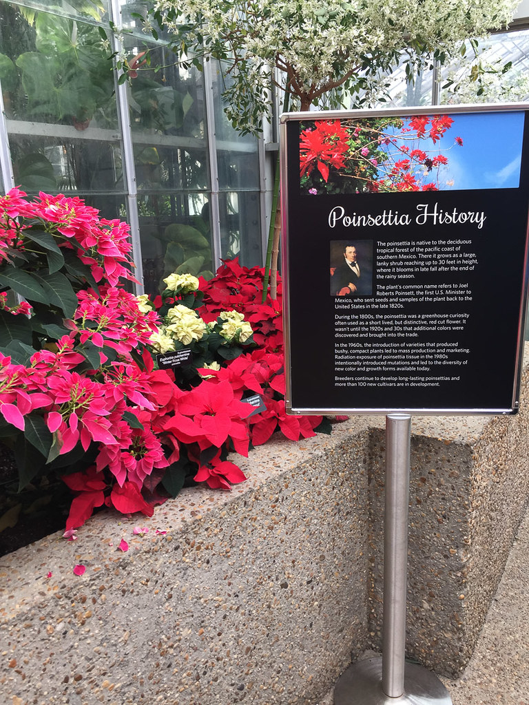 Poinsettias at U.S. Botanc Gardens