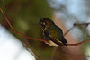 "Anna's Hummingbird, ""I'm molting."""