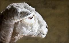 ewe and her last season: janet keturi