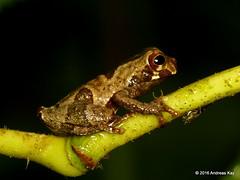 Sarayacu treefrog, Dendropsophus parviceps, juvenile