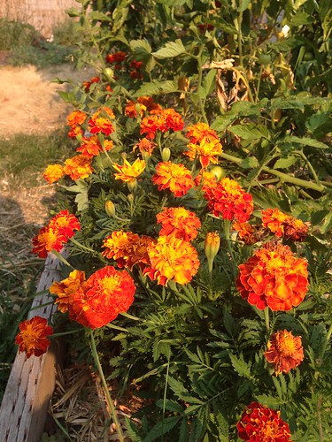 Marigolds make me happy.