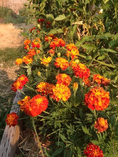 Marigolds make me happy.