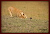 FEMALE LIONESS  ON  HOG HUNT (Panthera leo)......MASAI MARA......SEPT 2014 by M Z Malik