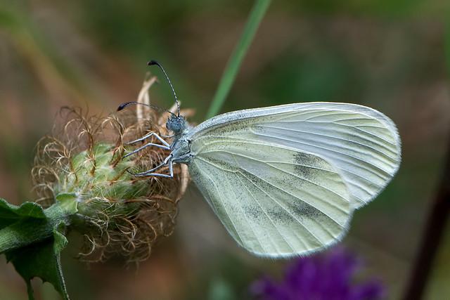 Leptidea sinapis - the Wood White