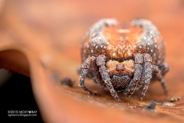 Roly poly orb weaver (Xylethrus scrupeus) - DSC_4521