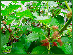 Morus nigra (Black Mulberry, Blackberry, Black-fruited Mulberry, Indian/Persian Mulberry, Silkworm Mulberry) laden with edible mulberries, Aug 14 2015