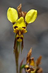 It's time for the Donkey Orchids