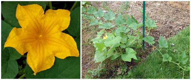 pumpkin flower and a vine that has grown beyond the fence