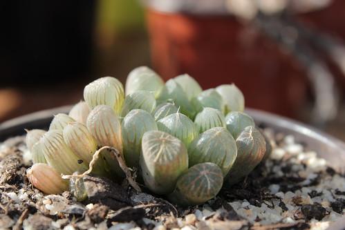 Haworthia cooperi var. truncata 21652013734_fdc7de0ae2