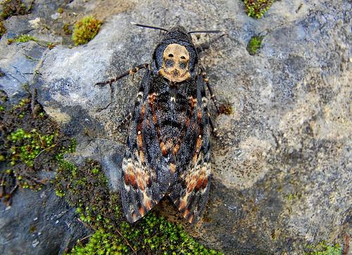 Death's-head Hawkmoth