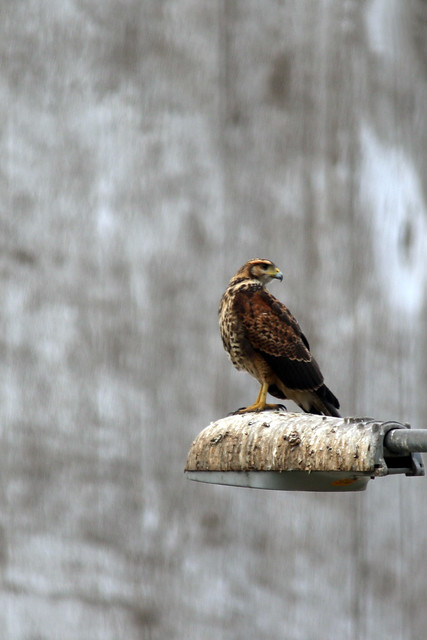 Variable hawk (Geranoaetus polyosoma)